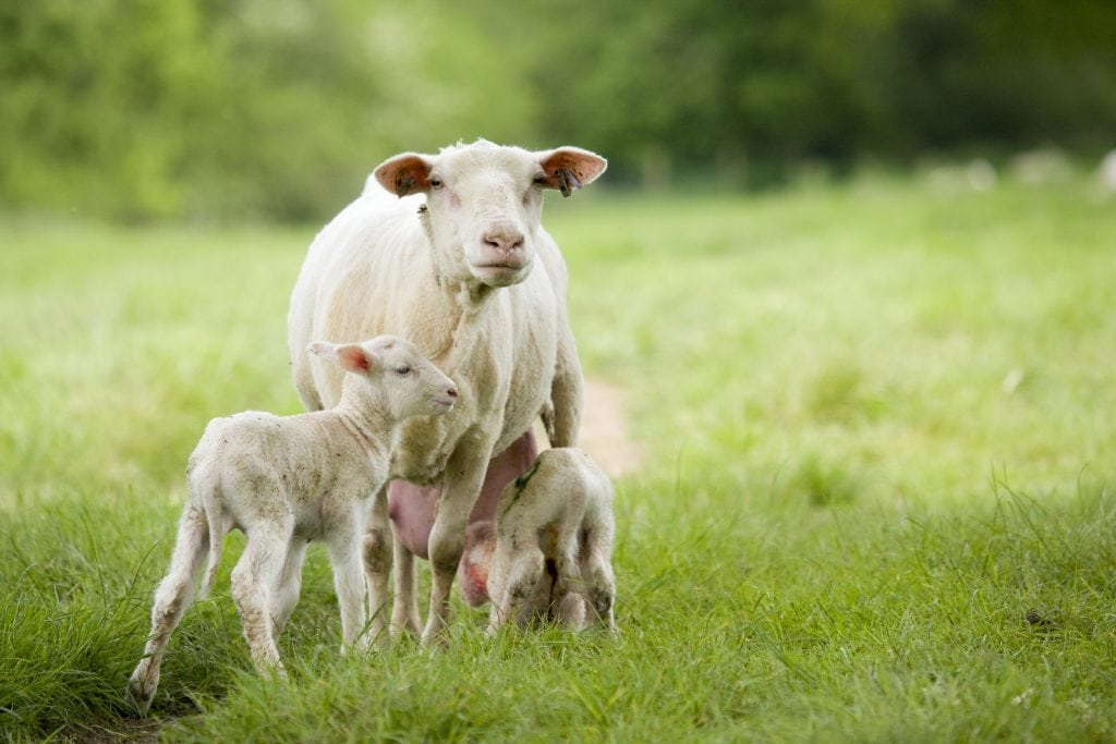 Why Sheep milk is better for you than cow or goat milk – Nutritional
