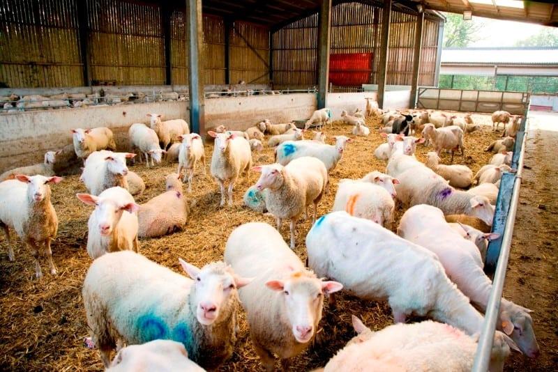 Sheep Milk History | Organic Sheep & Goats Milk Yoghurt from